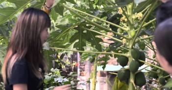 【綠綠無窮】 第十一集 木瓜的神奇功效